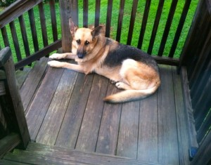 Photo Ed & Barbar Funke: Greta this female German Shepard is missing from the vicinity of Blundell Hollow Rd & Route 151 in Afton. Greta dug her way out from a fenced in area on Friday night August 23, 2013.