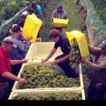 Grape Harvests In Full Swing Across The Blue Ridge