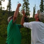 Amherst : Lowesville : Harvesting The Hops!