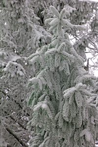 People living at Wintergreen awoke to a beautiful winter scene on Monday - January 24, 2017
