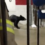Wintergreen : Black Bear Wanders Into Fire Station On The Mountain