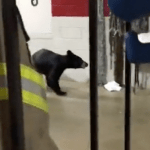 Wintergreen : Black Bear Wanders Into Fire Station On The Mountain