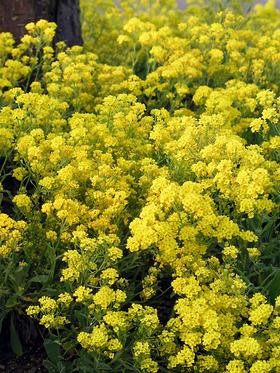 Aurinia saxitilis Bright yellow flowers will cascade down walls.