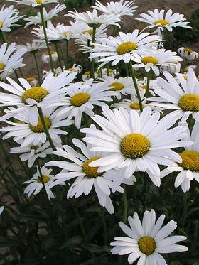 Single white Shasta Daisy