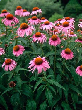 CONEFLOWER. Great for cutting