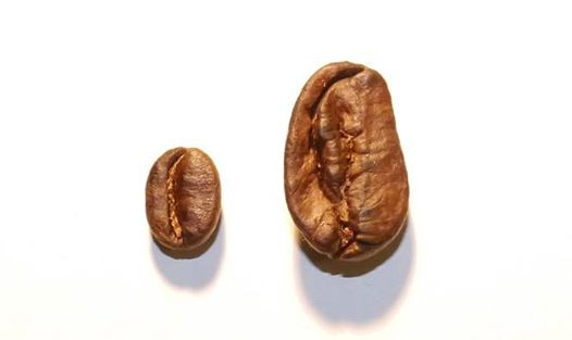 Image result for maragogype coffee beans