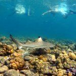 shark phi phi island