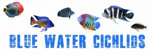 Blue Water Cichlids