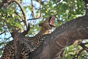 A leopard chilling in a tree after a delicious meal.