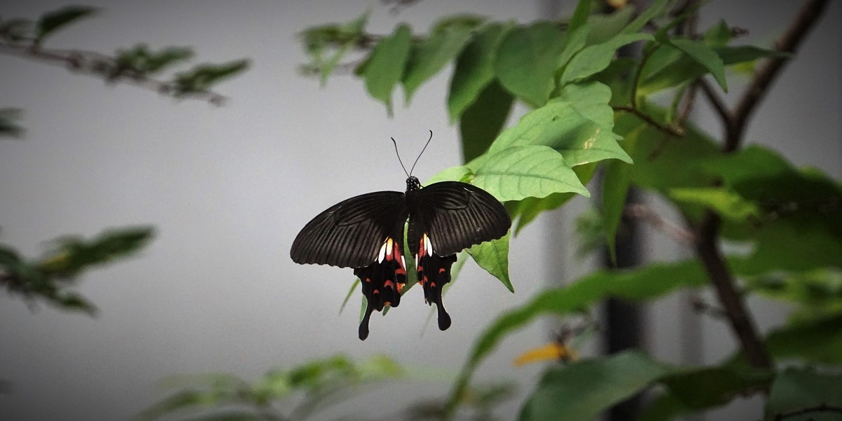 A butterfly in Changi airport's butterfly garden