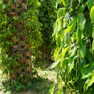 Pepper grows on vines