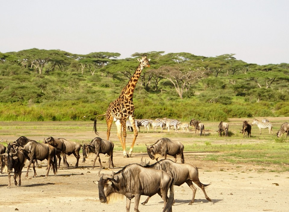 Ndutu is a super highway of animals