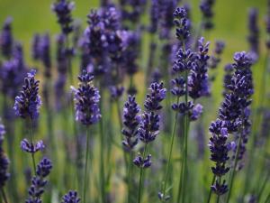 Genuss machts möglich - Lavendel - Bblumen Bergmann