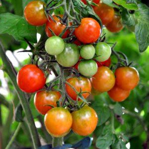Genuss machts möglich - Tomaten - Blumen Bergmann