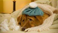 Sintomas da doença do carrapato no cão