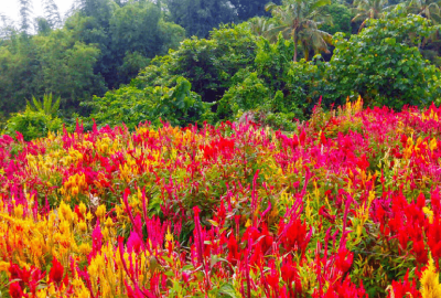 Sirao Flower Garden: The Little Amsterdam of Cebu