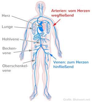 Schematische Darstellung der Arterien und Venen (Grafik Blutwert.net)
