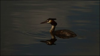 Crested Grebe - David Hulme