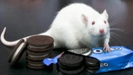 Addiction au sucre chez les animaux