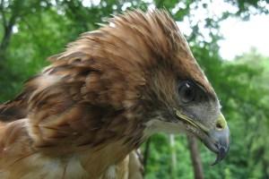 Cheyenne the Red Tailed Hawk - Buteo Jamaicensis