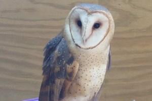Luna the Barn Owl - Tyto Alba