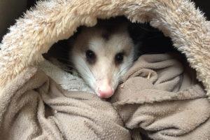 Oscar the Virginia Opossum - didelphis Virginiana