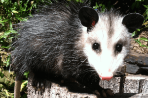 Oscar the Virginia Opossum - Didelphis Virginiana