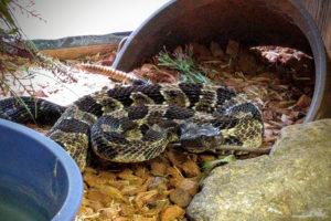 Grandpa Rattler the Timber Rattlesnake - Crotalus horridus