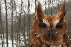 Rasta Eastern Screech Owl - Megascops Asio
