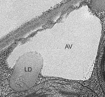 An electron micrograph showing a plant cell vacuole (AV) engulfing a lipid droplet (LD)