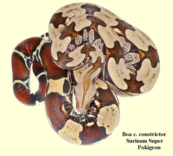 Boa c. constrictor Surinam Super Pokigron Adult male