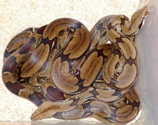 Boa c. constrictor Trinidad Adult