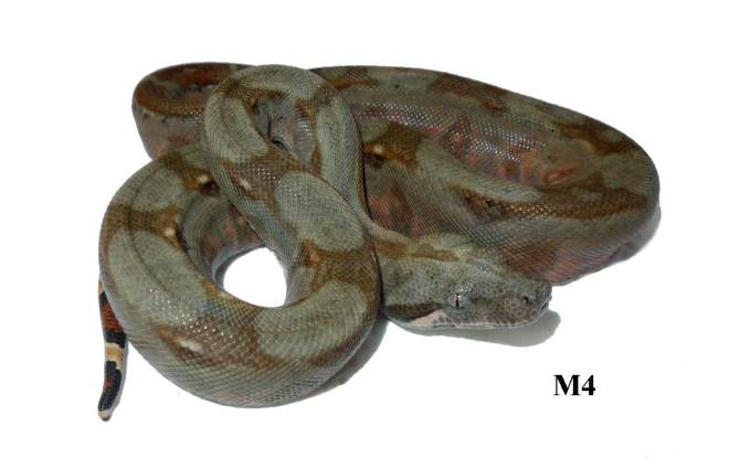 Corn Island Boa Red Nic M4