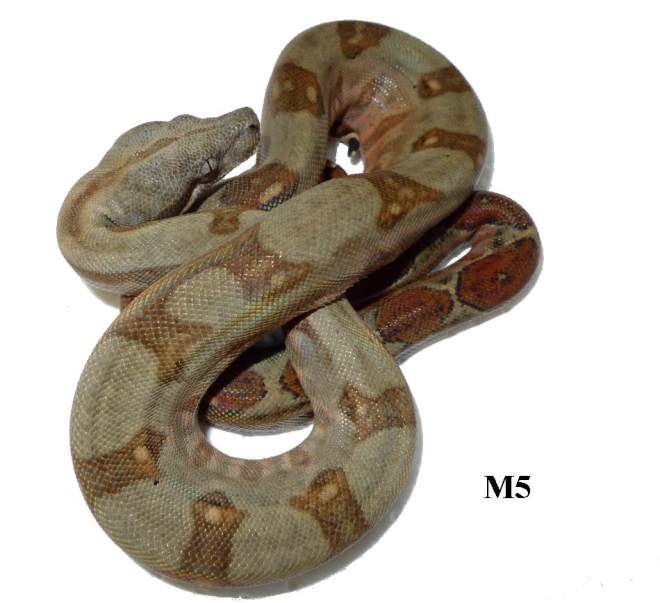 Corn Island Boa Red Nic M5
