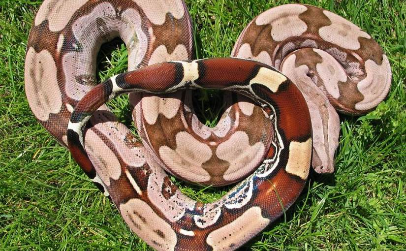 Boa constrictor for sale from the specialists – H + E Stoeckl