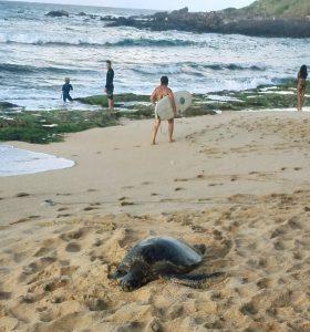turtle hookipa beach maui