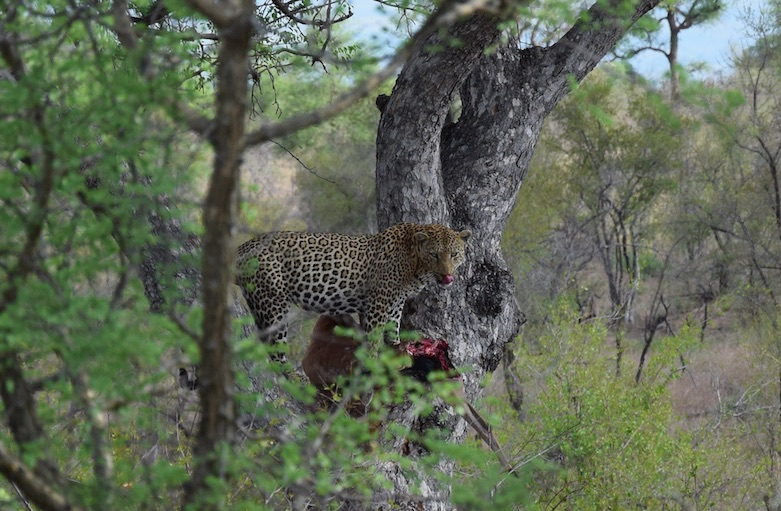 leopard eating an impala