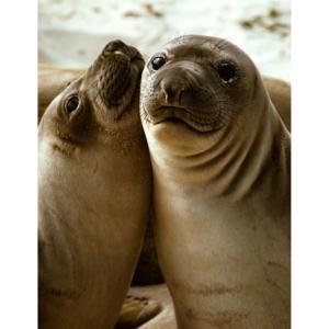 Baby Elephant Seals, San Miguel Island, Hallmark Image of the California Channel Islands