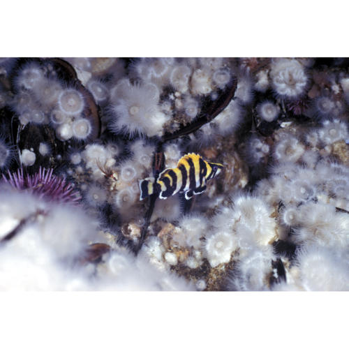 "Juvenile Treefish (Sebastes serriceps) 3"" in length hides amongst Plumose Anemone, Platform Hondo, 40 feet"