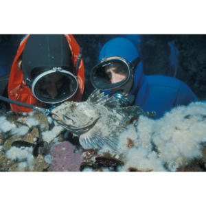 Divers Hillary Hauser and Andy McMullen find cabezon eggs on Platform Holly