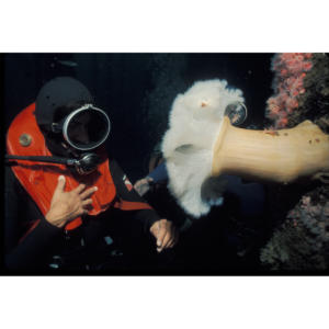 Hillary Hauser with Giant Plumose Anemone (Metridium farcimen) on Jacket of Platform Holly at 100'
