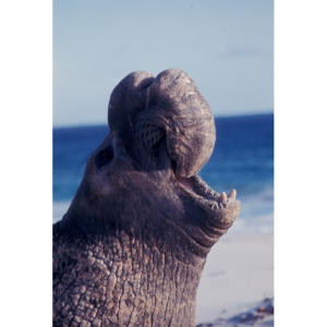 Bull Elephant Seal, San Miguel Island #64