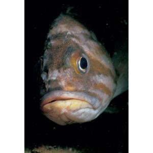 Rockfish Face