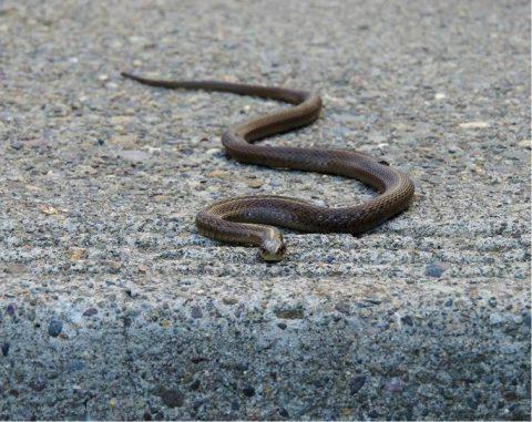 snake in road