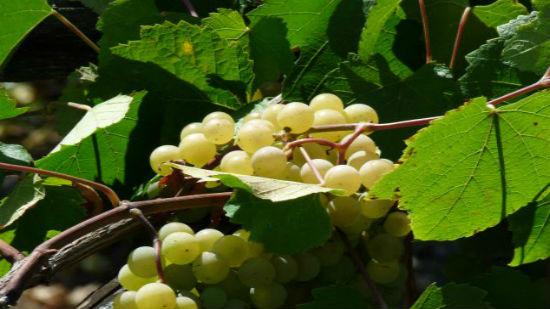 blanco verdín uva