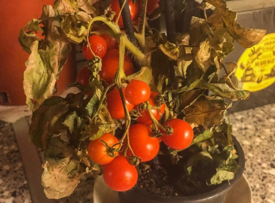 bladene-var-lit--rufsete-men-tomatene-var- rode-og-fine