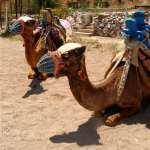 Camel Beach Kargi Bay Bodrum Peninsula Turkey