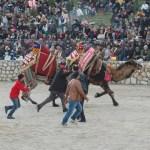 Bodrum Camel Wrestling Arena 2014 Turkey