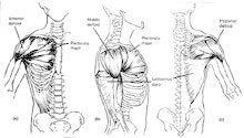Anatomy of the Shoulders