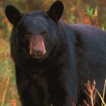 Holistic Adventures: Let's Talk Bears